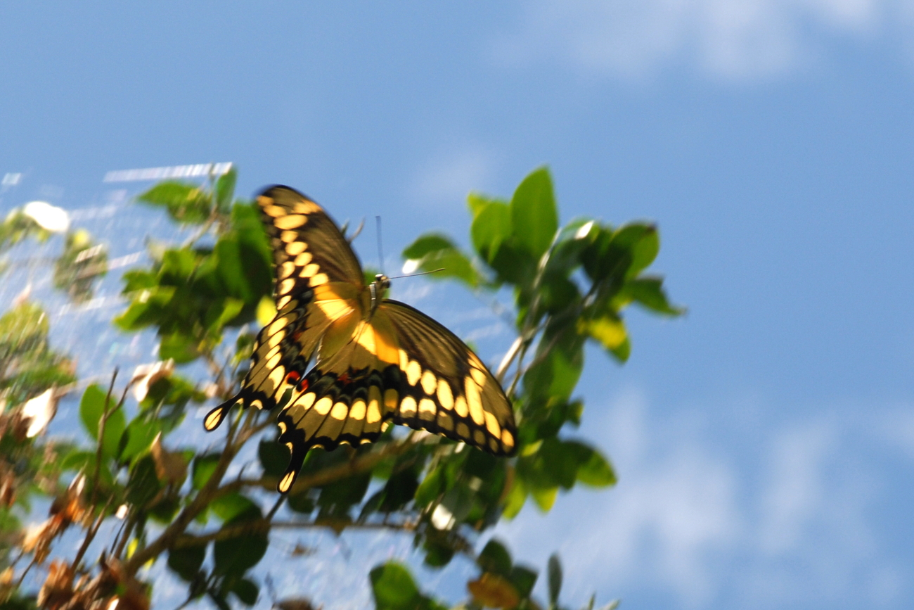 Tiger Swallowtail In Flight, 12x18 Photograph