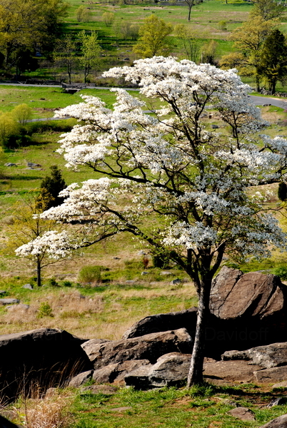 Primary image for Dogwood Tree, Gettysburg, Va.  12x18 Photograph