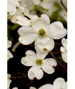 Dogwood Flowers, 12x18 Photograph - $199.00