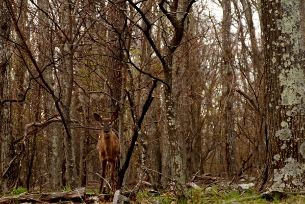 Deer In The Woods at Shenandoah National Park, Va,  12x18 Photograph