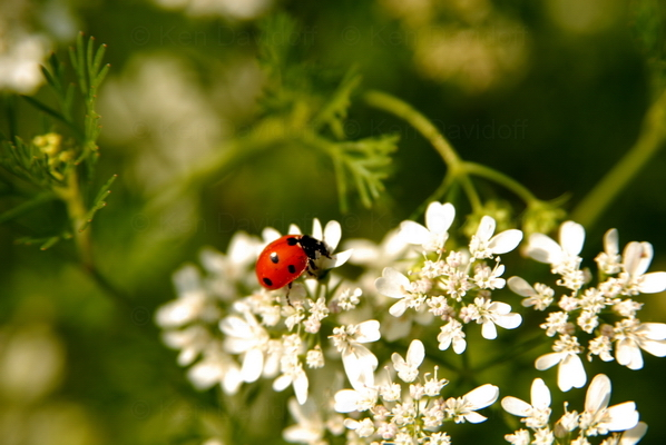 Ladybug, at Shenandoah National Park, Va, 10x15 Photograph