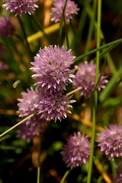 Chive Flowers At Jamestown Fort, Va., 12x18 Photograph