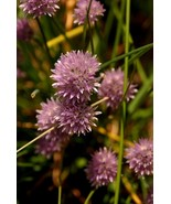 Chive Flowers At Jamestown Fort, Va., 12x18 Pho... - $199.00
