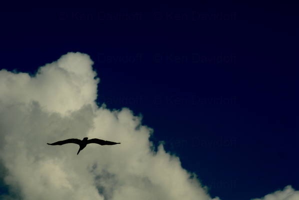Pelican In Flight at Sebastion, Fl. 10x15 Photograph
