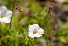 Bee In Flight,  12x18 Photograph - $199.00