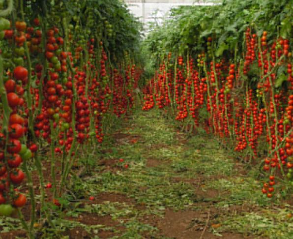 100pcs Very Tasty Edible Tomato Tsifomandra Giant Vegetable Seeds IMA1 - $13.99