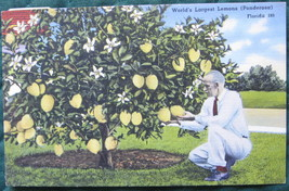 Tichnor, Full Bleed, Linen Postcard, Ponderosa Lemon Tree - $6.00