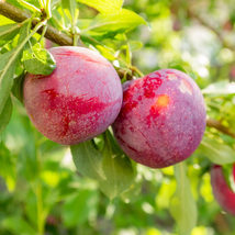 1 Plant Plum Tree Native American Established 2 Gallon Pot Edible Fruit  - $113.59