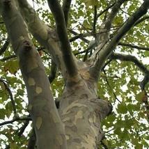 SHIP FROM USA London Plane Tree Seeds (Platanus Acerifolia) 50+Seeds UDS - $21.98