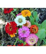 100 Seeds - Zinnia - Mix Thumbelina Flower - $8.99