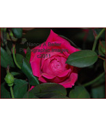 One Perfect Rose - a 5x7 photographic image - $10.00