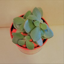 """Jade Plant in Red Gold Tin, 3"""" Planter Succulent Crassula ovata Chinese New Year image 4"""