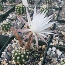 Live Plant Pygmaeocereus bieblii Cactus Cacti Succulent Real  - $37.79