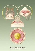 Jellyfish: Narcomedusae by Ernst Haeckel - Art Print - $19.99+