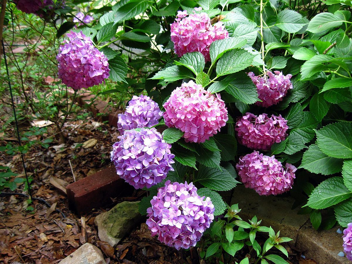 Primary image for Starter Plant - Hydrangea Macrophylla David Ramsey