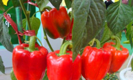 100pcs Red Sweet Pepper plant, Vegetable flores, Bell Pepper plantas - $5.56
