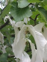 Dove Tree, Davidia involucrata, 1 Tree Seeds (Rare, Showy, Fall Color) - $10.99