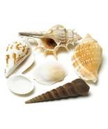 Decorative Natural Shells (Pack of 1)  - $4.99