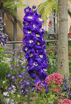 SHIPPED FROM US 1000 Purple Rocket Larkspur Delphinium Flower Seeds, LC03 - $15.00
