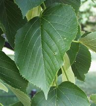 American Basswood Linden Tree seedling shade Heart Shaped Leaves LIVE PLANT - $24.50