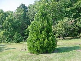 11 Year PLANT of Sciadopitys Verticillata Picola - $688.05