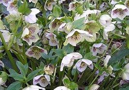 1 Starter Plant of Helleborus X Hybridus 'White Lady Spotted' - $57.42