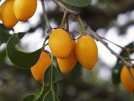 5 Seeds of Mimusops Zeyheri - Transvaal Red Milkwood - $13.85