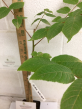 Black Walnut tree native quart pot  image 4