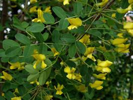 4 Variety Siberian Caragana Arborescens Tree Seeds #IMA49 - $15.99+