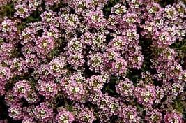 Non GMO Alyssum, Rosie O'Day Flower Seeds Lobularia maritima (5 Lbs) - $826.65