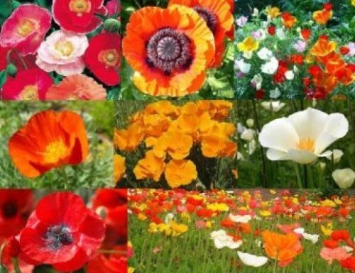 Primary image for SHIPPED From US, 150 + POPPY POWER FLOWER MIX SEEDS*FREE SHIPPING-SPM