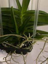 Ascocentrum miniatum Orchid Blooming Size FIVE PLANT CLUMP!!! SPECIES 0222 image 5