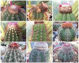 Melocactus MIXED VARIETY MIX cacti rare cactus globular cephalium seed 100 SEEDS - $18.00
