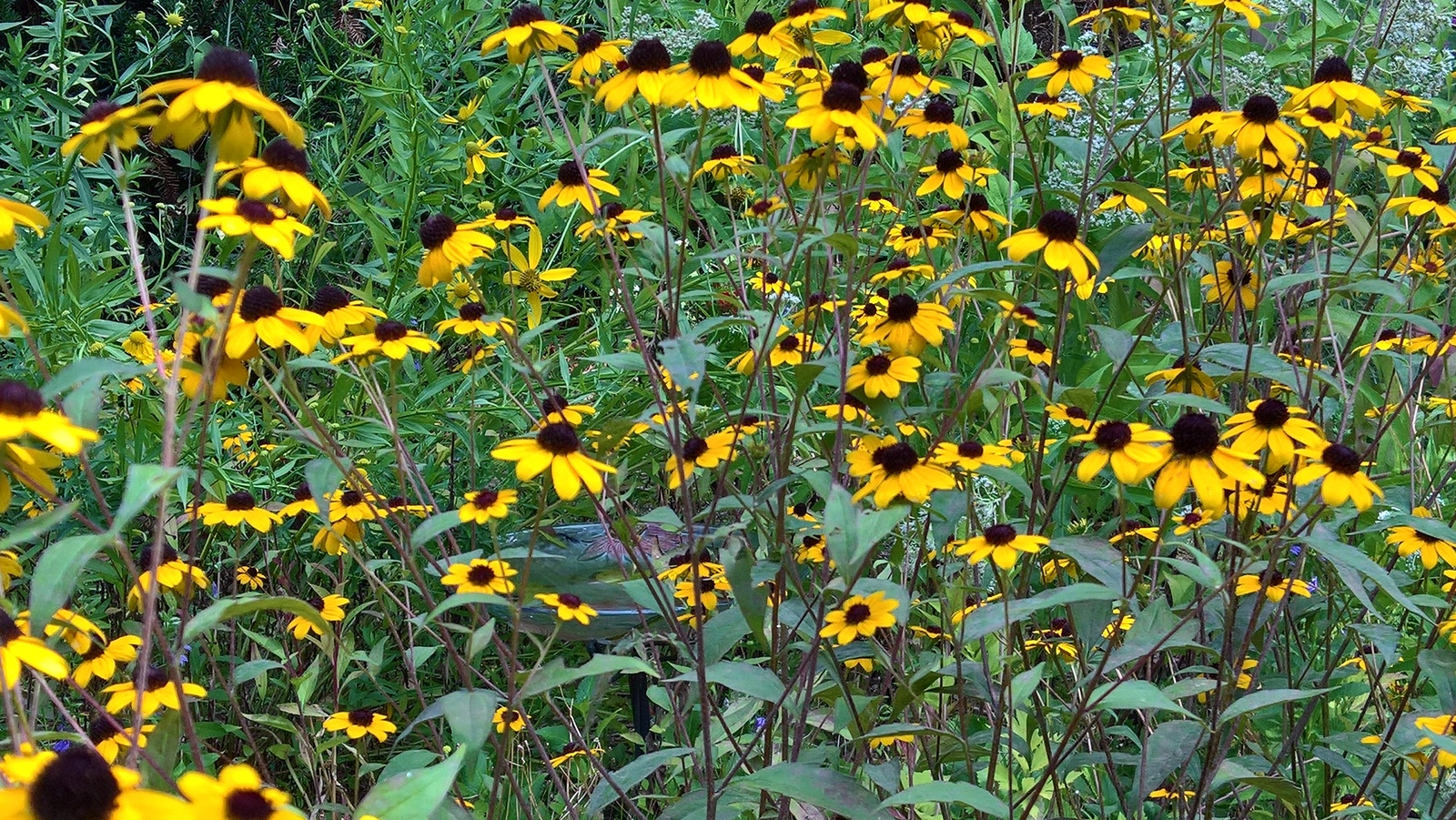 Organic Native Plant, Brown Eyed Susan, Rudbeckia triloba, w