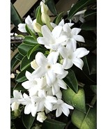 5 Seeds Stephanotis floribunda Madagascar Jasmine Seeds - $14.86