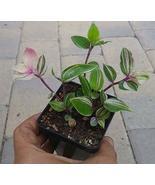 Tradescantia Albiflora Rainbow - Wandering Jew Rainbow Tricolor - Live P... - $98.01