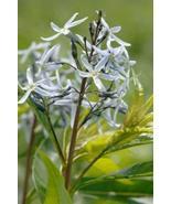 1 Packet of 10 Seeds Ozark Bluestar, Shining Blue Star - Apocynaceae - A... - $17.54
