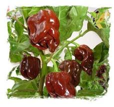 Jamaican Hot Chocolate Habanero Heirloom Pepper Fresh 10 Seeds - $5.99