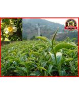 50 Seeds Fresh Green Tea Plant Seeds - Camellia Sinensis - Original Gree... - $6.89