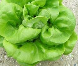 Gardening - Buttercrunch Lettuce - 2000 Seeds – Vegetable - SBF - $21.95