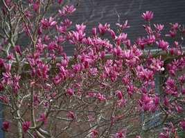 Ann Magnolia shrub/tree image 4