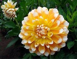 BEST PRICE 50 Seeds Different Types of Dahlia Flower,DIY Flower Seeds E3238 DG - $6.60