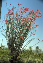 Fouqueria Splendens - Ocotillo Candlewood - Rare Tropical Plant Seeds (10) - $16.00
