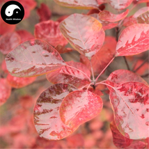 Buy Cotinus Tree Seeds 30pcs Plant Cotinus Coggygria For Chinese Huang L... - $5.99