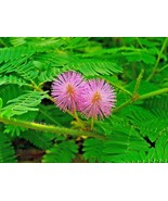 SHIPPED FROM US 120+LITTLELEAF SENSITIVE BRIAR PLANT Touch Me Not Seeds,... - $17.00