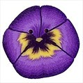 "Large Purple Pansy 2223L handmade clay button  .75"" JABC Just Another Button C"