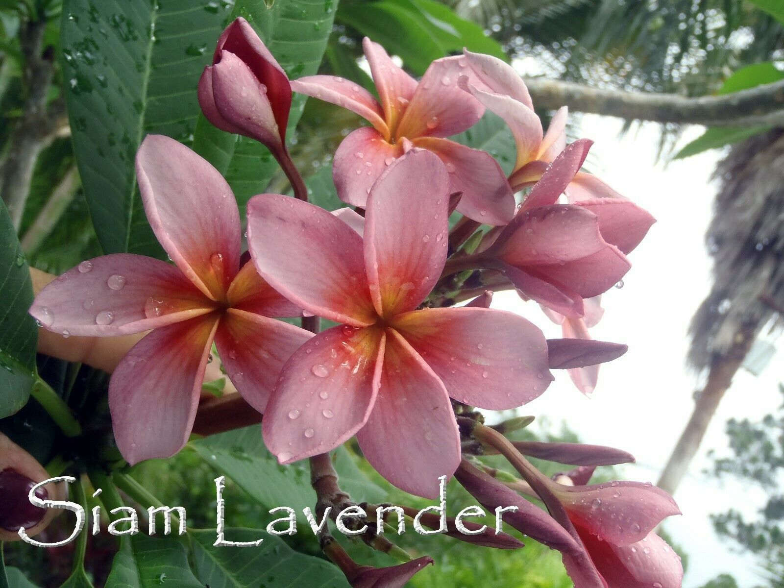 2-tip Thai *Siam Lavender* cutting plus bonus Fragrant Rare Exotic - $20.95