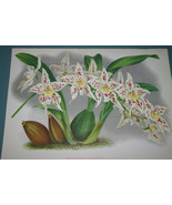 Lindenia Print Limited Edition Odontoglossum Warocqueanum Orchid Art Dec... - $16.14