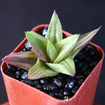 "SHIP From US, 2"" pot Aloe Wansley variegated, succulent plant cacti ECC - $32.99"