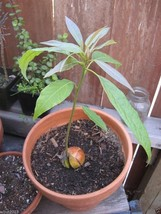 Avocado Tree Seed (pit) also known as Pear butter fruit butter pear  image 4
